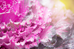 Ornamental cabbage Brassica oleracea Stock Photos