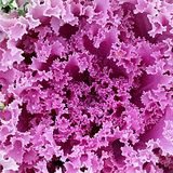 Ornamental cabbage,  Brassica oleracea. Ornamental cabbage or flowering cale,  Brassica oleracea Stock Image