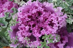 Ornamental cabbage,  Brassica oleracea. Ornamental cabbage or flowering cale,  Brassica oleracea Stock Photography