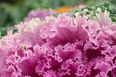 Ornamental cabbage,  Brassica oleracea. Ornamental cabbage or flowering cale,  Brassica oleracea Royalty Free Stock Photo