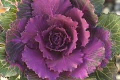 Ornamental cabbage. Brassica oleracea, ornamental cabbage stock photo Royalty Free Stock Photography