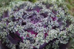 Ornamental cabbage cabbage purple Stock Images