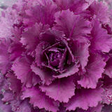Ornamental cabbage Stock Photos