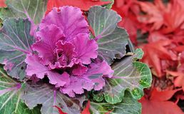 Ornamental cabbage. Close on an ornamental cabbage with red maple leaves Stock Image
