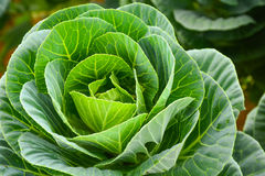 Ornamental cabbage. Close up of ornamental cabbage Stock Photo