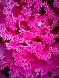 Ornamental cabbage Stock Photography