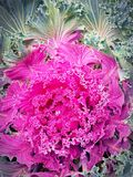 Ornamental cabbage Stock Images