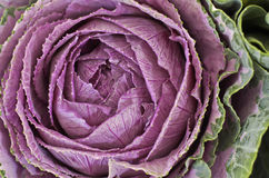 Ornamental Cabbage. Close up in natural light Royalty Free Stock Photos