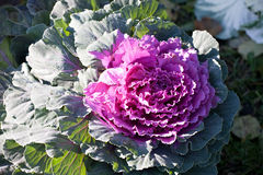 Ornamental cabbage royalty free stock photo