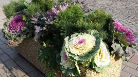 Ornamental cabbage. In concrete flower beds on the sidewalk Royalty Free Stock Photos