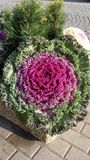 Ornamental cabbage. In concrete flower beds on the sidewalk Stock Image
