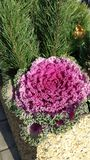Ornamental cabbage. In concrete flower beds on the sidewalk Royalty Free Stock Photo