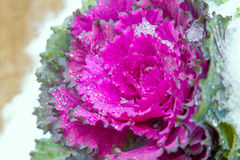 Ornamental cabbage. Cover with snow in winter season Royalty Free Stock Photos