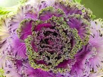 Ornamental cabbage flower Royalty Free Stock Photos
