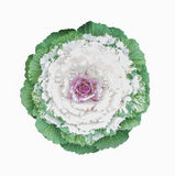 Ornamental cabbage flower Stock Photos
