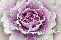 Ornamental Cabbage, Flowering Cabbage, Acephala Group Kale. Close up of ornamental Cabbage, Flowering Cabbage, Acephala Group Kale, or Brassica Oleracea Royalty Free Stock Image