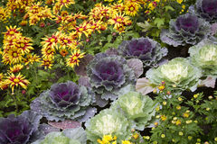 Ornamental cabbage and flowers Stock Photo