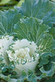Ornamental cabbage flowers on green garden outdoors. Royalty Free Stock Photo