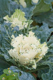 Ornamental cabbage flowers on green garden outdoors. Stock Image