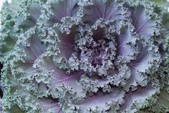Ornamental cabbage,Fresh purple ornamental Stock Photo