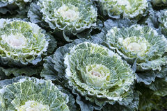 Ornamental Cabbage Stock Photo