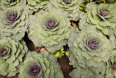 Ornamental cabbage. In a garden Stock Images