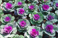 Ornamental Cabbage in the Garden Stock Images