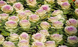 Ornamental Cabbage in a garden Stock Photography