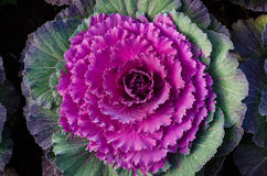 Ornamental cabbage growing in the soil. Flowering Cabbage. Decorative cabbage. Ornamental cabbage growing in the soil Royalty Free Stock Photo