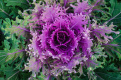Ornamental cabbage growing in the soil. Flowering Cabbage. Decorative cabbage. Ornamental cabbage growing in the soil Royalty Free Stock Image