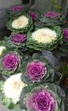 Ornamental cabbage Japan brassica  oleracea Stock Photos
