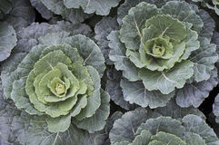 Ornamental Cabbage and Kale Plants Royalty Free Stock Photography