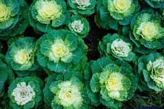 Ornamental Cabbage Mixed royalty free stock images