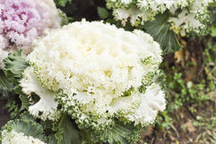 Ornamental cabbage plant Royalty Free Stock Photos