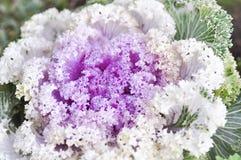Ornamental cabbage plant Stock Image