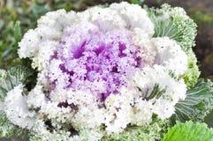 Ornamental cabbage plant Stock Photo