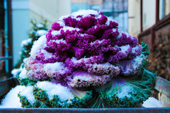 Ornamental Cabbage. Powdered with snow in a pot in winter Royalty Free Stock Photos