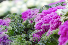 Ornamental cabbage. Purple Ornamental cabbage and blurred background, soft focus Royalty Free Stock Photo