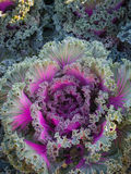 Ornamental cabbage and Purple cabbage Stock Image