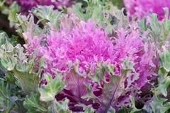 Ornamental cabbage Royalty Free Stock Photos