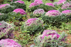 Ornamental cabbage. Stock Images