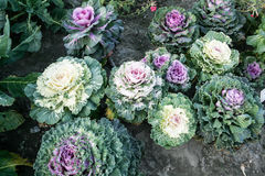Ornamental cabbage. From top view Stock Image