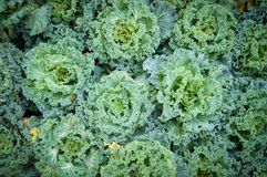 Ornamental cabbage Vegetable background. Vegetable background Ornamental cabbage or flowering cale, Brassica oleracea Royalty Free Stock Photo