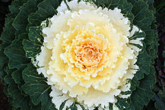 Ornamental cabbage. White ornamental cabbage in garden Royalty Free Stock Image