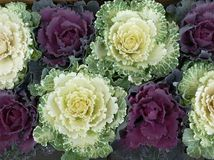Ornamental Cabbages. Contrasting colours and beauty of Ornamental Cabbages Royalty Free Stock Photos