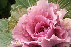 Ornamental cabbages Royalty Free Stock Photography