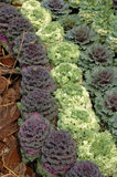 Ornamental cabbages Stock Image