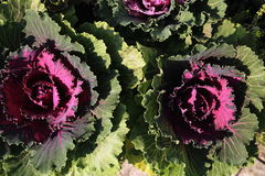 Ornamental cabbages bloom Stock Photo