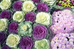 Ornamental cabbages Stock Images