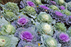 Ornamental cabbages Royalty Free Stock Photo